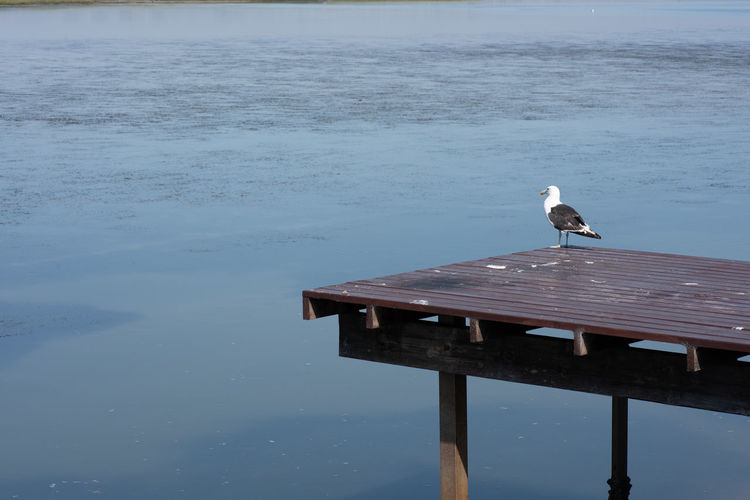 perched Bird Water Animals In The Wild Animal Wildlife Animal Themes Perching Vertebrate Animal One Animal No People Nature Wood - Material Day Lake Pier Outdoors Waterfront Beauty In Nature Seagull Wooden Post