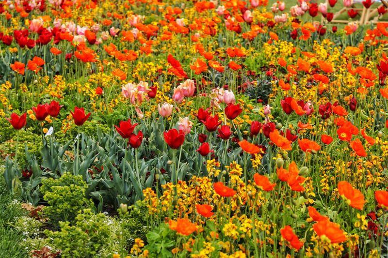 Red poppy flowers in garden