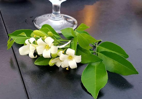 Pretty Pure Peace White Clam Cute Fresh Design Nice Mother Isolated Still Worth Thin Nifty Petal Plant Lay Grass Flower Head Perfume Water Leaf Herbal Medicine Herb Scented Mint Leaf - Culinary Close-up