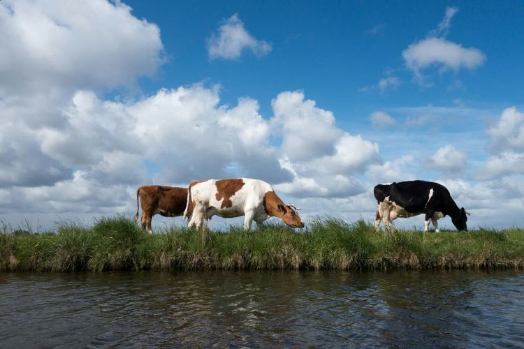 Cows of holland Cows Grazing Grass Grass Netherlands Holland Dutch Landscape Animal Photography Nature Photography Naturephotography Nature_collection Cow Blue Sky Clouds And Sky Clouds Sky