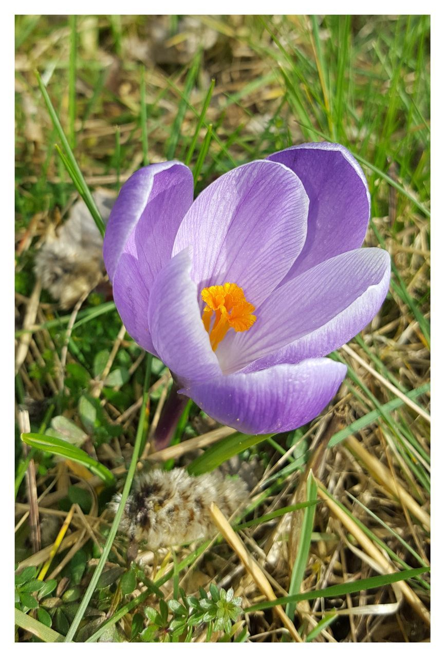 flower, petal, growth, nature, fragility, beauty in nature, grass, flower head, plant, freshness, field, outdoors, day, blooming, no people, close-up, crocus