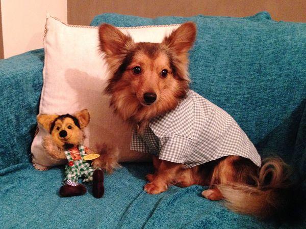 Loki EyeEm Selects Dog Pets Domestic Animals Animal Themes Brown Mammal Looking At Camera Portrait Dachshund One Animal Indoors  No People Pet Clothing Close-up Day Pomeranian Pomeranian Mix Dog Portrait Doppelgänger
