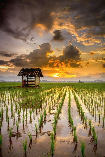 Sunset Agriculture Crop  Sunset Farm Field Beauty Cereal Plant Landscape Backgrounds Social Issues Rural Scene Water Outdoors Reflection Sky Nature Cloud - Sky Flower Arrival Plant Sunset_collection Sunset Lovers Sunset_captures Landscape_photography Nature Be. Ready. EyeEmNewHere