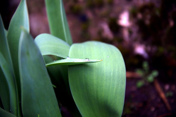 Intertwining leaves of a tulip plant to support a raindrop