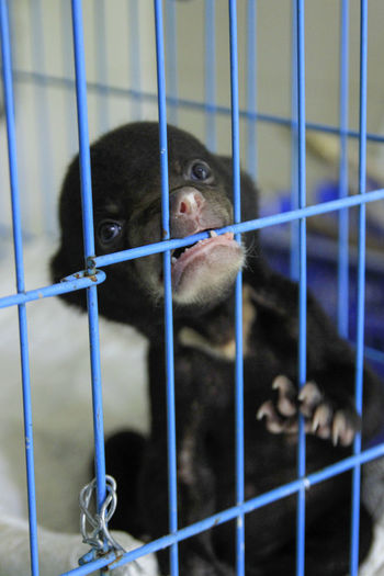 Close-up of sun bear in cage