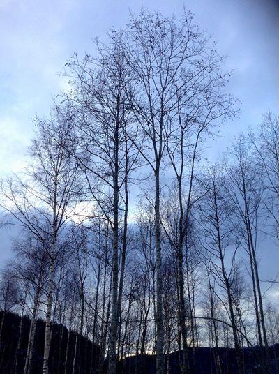 Tall trees. Trees Winter Norway Tall