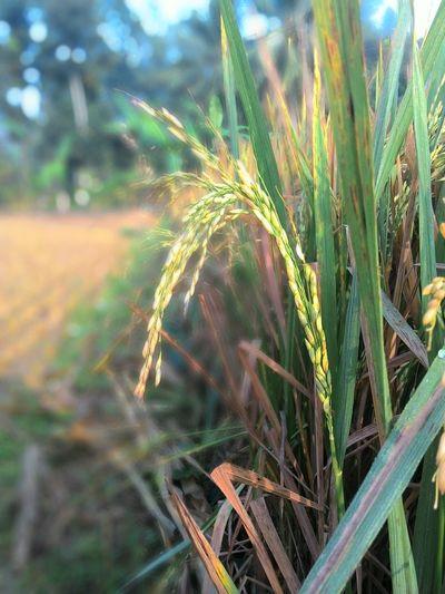 The Essence Of Summer INDONESIA Jawatengah Visit Indonesia Morning Summer Mudik Kampunghalaman Hello World Harvest Time Rice Field Gombong Kebumenkeren . Seperti padi yang semakin menunduk jika berisi . Enjoy it .