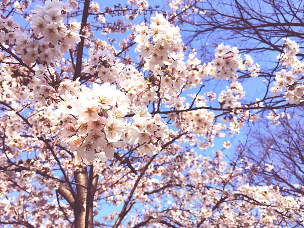 Cherry Blossoms Japan Spring