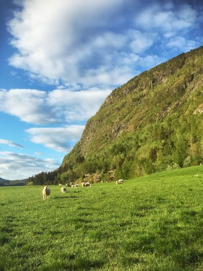 Grass Domestic Animals Field Sky Livestock Animal Themes Grazing Cloud - Sky Mammal Nature Landscape Green Color Agriculture Large Group Of Animals Tranquility Mountain Sheep Scenics Tranquil Scene Mountain View Mountains Illuminated Blue Sky Norway