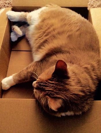 If I fits, I sits. Box Cat Comfy  Nap