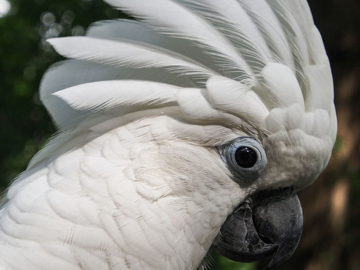 Clara the cockatoo Cockatoo Feathers Animal Head  Animal Themes Beak Bird Close-up Cockatoo Crest Crested Gecko Day Domestic Animals Exotic Pets Feather  Focus On Foreground Leafy No People One Animal Outdoors Parrot Pets Portrait White Color