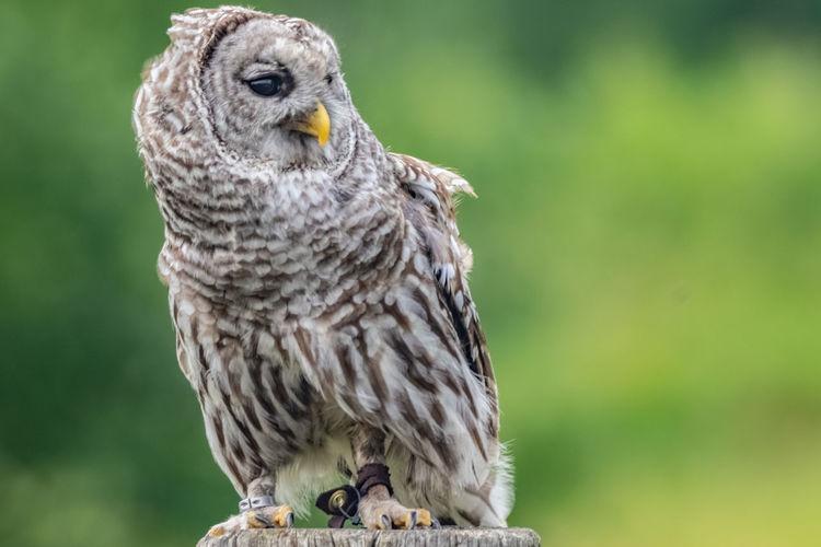 Bird of prey (