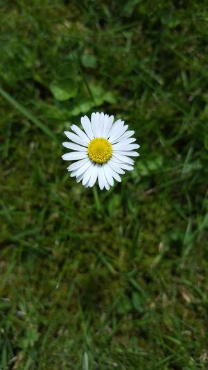 Daisy Daisy Flower Daisys Daisyporn Daisy 🌼 Garden Photography Garden Happy Flowers Sunny Afternoon Sunny Day Lazy Afternoon Happy Sunshine Grass Lawn Lawn Grass With Flower Lawn Art