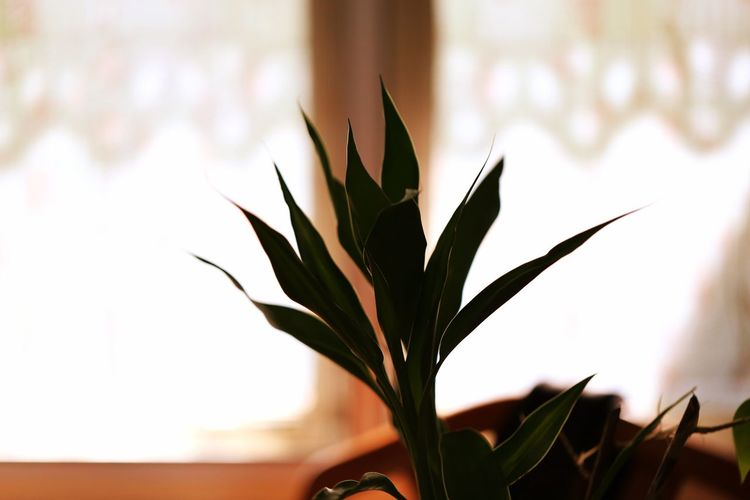 Alone Freshness Home Lonely Morning Morning Light Silhouette Botany Close-up Day Decoration Focus On Foreground Fragility Freshness Growth Home Interior Interior Leaf Plant Plant Part Selective Focus Silhouette_collection Tranquility