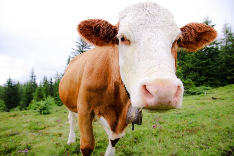 Alpine Beef Cattle Cow Dairy Domestic Animals Farm Farmer Grass Livestock Milk Nature No People Outdoors