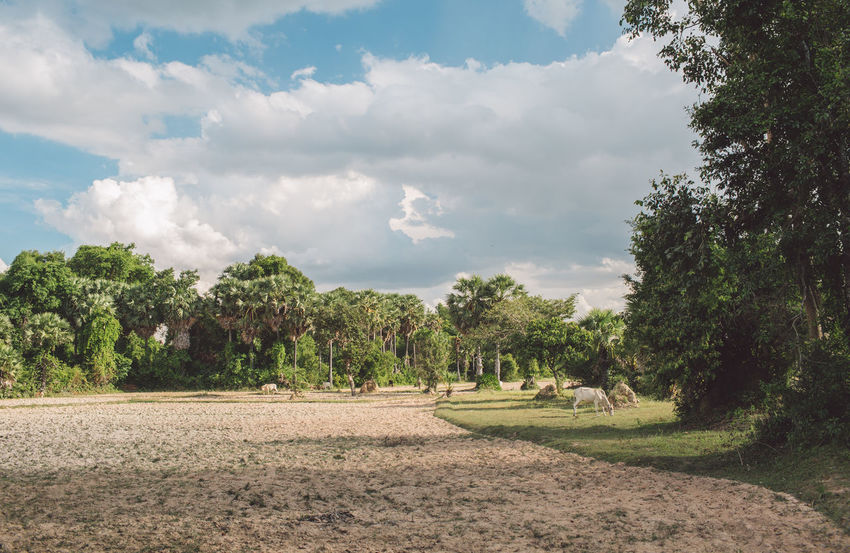 Siem Reap Cambodia Angkor Tree Plant Cloud - Sky Sky Nature Beauty In Nature Landscape Day Growth Environment Scenics - Nature Tranquility Tranquil Scene Land No People Green Color Field Grass Sunlight Outdoors