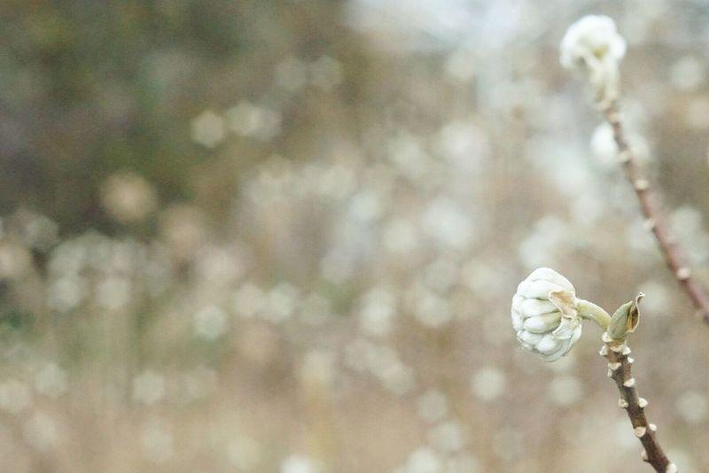 ミツマタ Nature Flower Beauty In Nature Plant No People Outdoors Day Freshness Flower Head EyeEm Nature Lover Beauty In Nature White Industar61