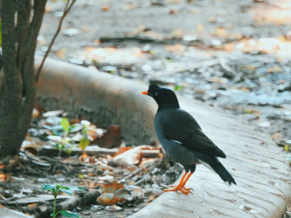 Animal Themes Animals In The Wild Bird Bird Photography Bird Watching Birds Birds Of EyeEm  Birds_collection Birds_n_branches Birdwatching Black Color Close-up Focus On Foreground Full Length Myna No People One Animal Outdoors Selective Focus Side View Wildlife Zoology