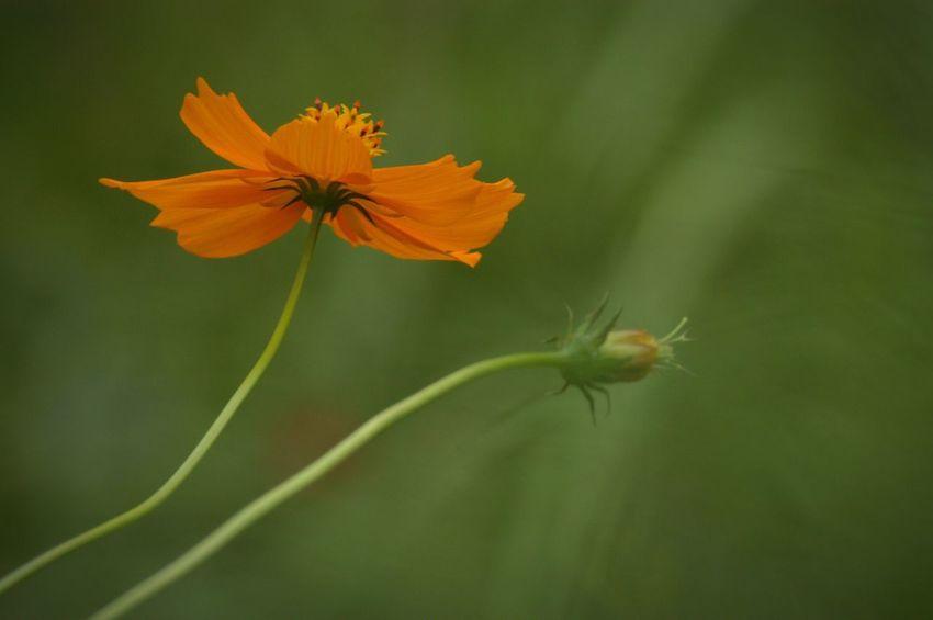 Nature Flower Cosmos キバナコスモス 残りの夏の夏色。