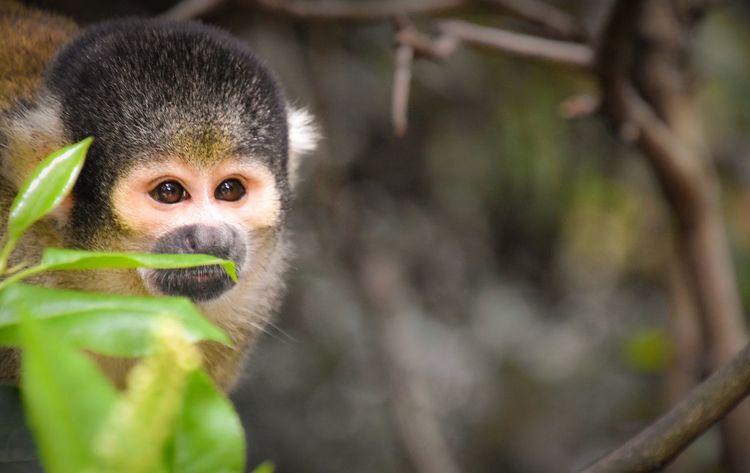 I spy..... Monkey Monkeys Monkey Business London London Zoo Zoo Monkey Zoo Animals Animals In Captivity Cute The Portraitist - 2016 EyeEm Awards Squirrel Monkey Brown Eyes I Spy Hiding Hiding From The World