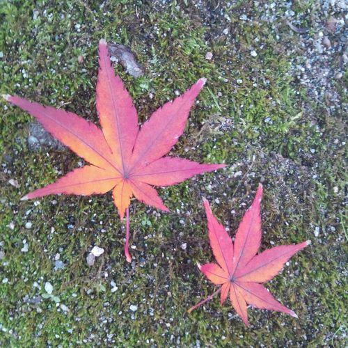 紅葉 こけ Japan 兵庫 尼崎紅葉 コケ 苔縄 Autumn Leaves Autumn🍁🍁🍁 Moss