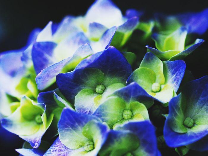 カメラ好き カメラ好きな人と繋がりたい あじさい 紫陽花 수국 Flower