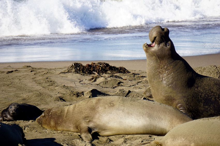 Northern elephant seals on the beach near San Simeon, California Animal Themes Animal Wildlife Animals In The Wild Beach Beauty In Nature California Coast Elephant Seals Mammal Nature Ocean Sea Seal - Animal Seals Surf