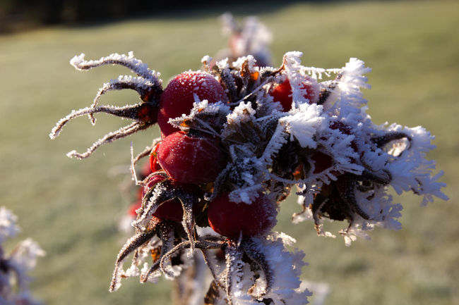 Close-up Day Dogrose Focus On Foreground Freshness Frozen Frozen Fruit Frozen Nature Fruit Nature No People Outdoors Red Rosehip Wild Rose Winter Ice Crystals Focus Plant Ice Cold Temperature Frost Beauty In Nature