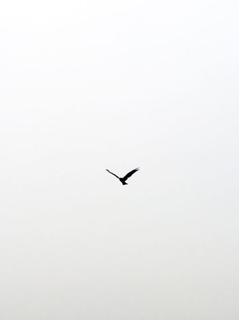 Flying Bird Animal Themes One Animal Sky