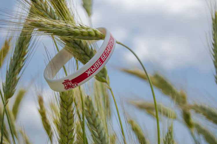 Close-up of wheat growing in farm