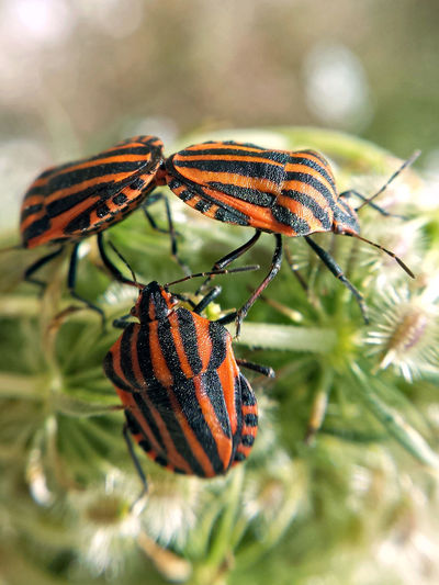 Close-up of shield bugs mating on plant