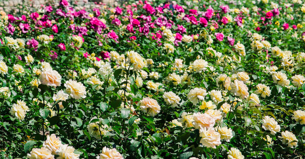 garden of roses Flower Flowering Plant Plant Freshness Beauty In Nature Vulnerability  Fragility Growth Nature Field No People Close-up Land Abundance Day Flower Head Petal Inflorescence Outdoors White Color Flowerbed