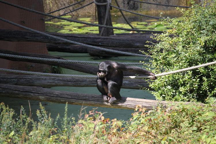 Apenheul Holland Bonobo Schimpanse Water Tree Animal Themes