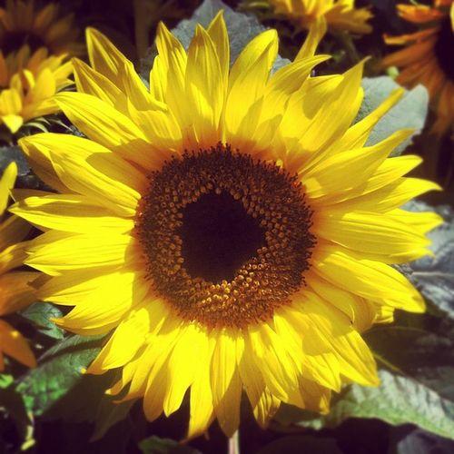 Sunny Sunflower Sunflower Yellow Flowerpower Vegasbaby Lasvegas Timewireless Bellagiohotel