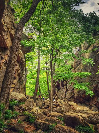 People Exploring Purgatory Chasm State Reservation Park Plant Tree Growth Green Color Nature Day Outdoors Beauty In Nature Land Sunlight Low Angle View Tree Trunk Forest Plant Part Tranquility Branch Leaf Trunk