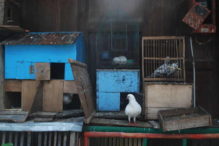 Dove and birdcages against wall