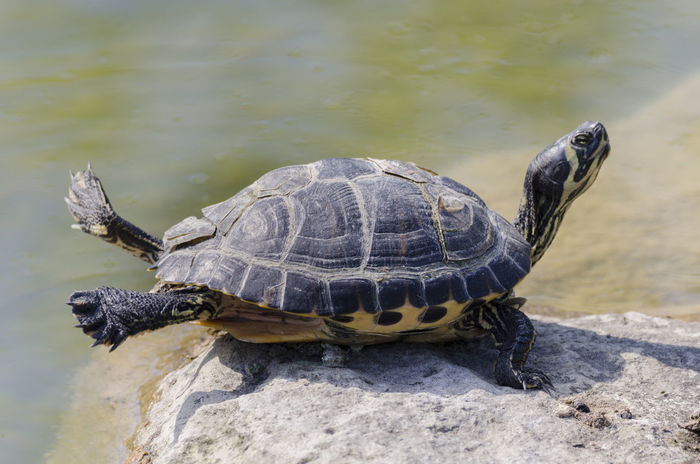 Ballerina Animal Themes Animal Wildlife Animals In The Wild Day Nature No People One Animal Outdoors Reptile Stretching Tortoise Tortoise Shell Turtle Water