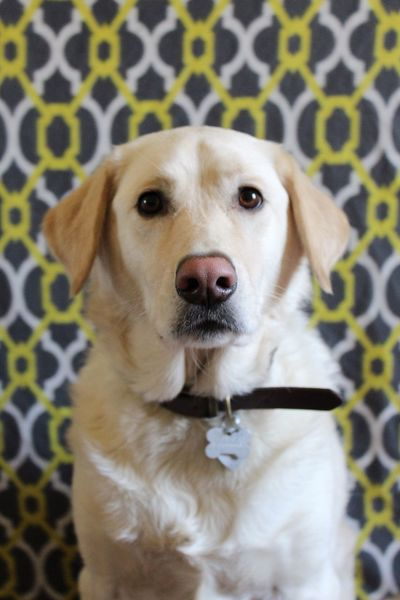 Dog Pets One Animal Domestic Animals Animal Themes Mammal Looking At Camera Portrait Indoors  Close-up No People Day Labrador
