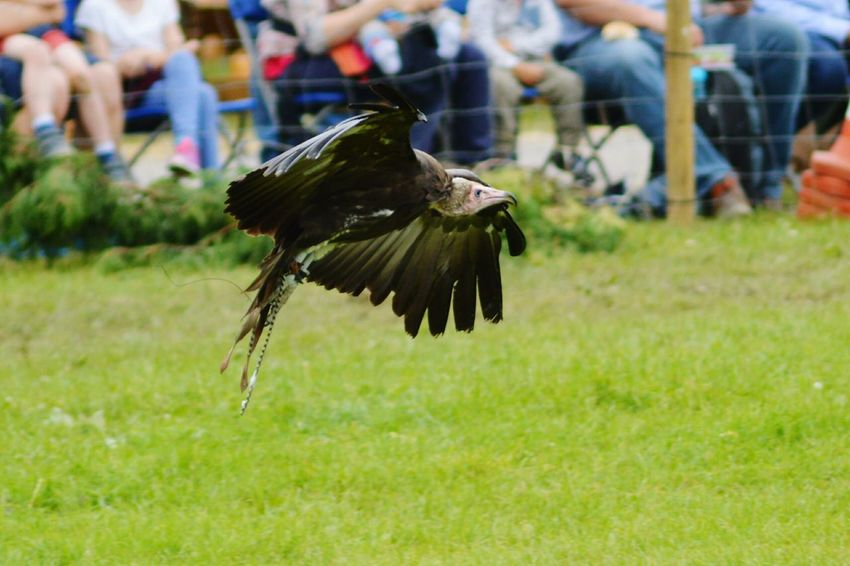 Vulture Vulture Flying Birds In Flight Birds_collection Bird Photography Falconry Display Three Counties Show Flying Birds Of Prey Scavenger Fresh 3