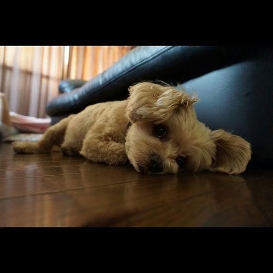 Instasize 愛犬 日常 ペット 家族ひまそうひま犬の極み