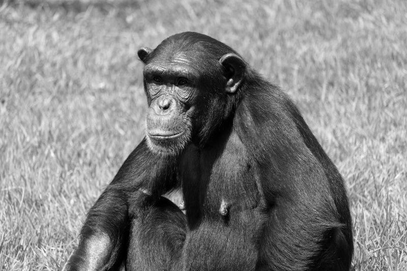 Portrait of chimpanzee on field in zoo