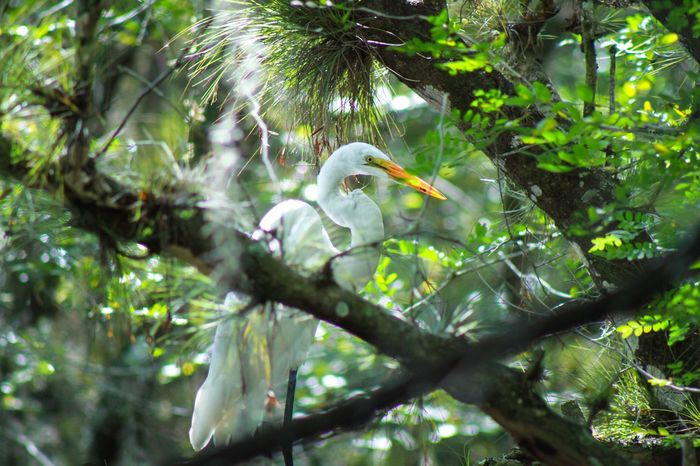 Couldn't pass up the opportunity to frame this Great Egret through the thick jungle like forest in Myakka State Park. GreatEgret Myakka State Park Floridabirds Wildlife