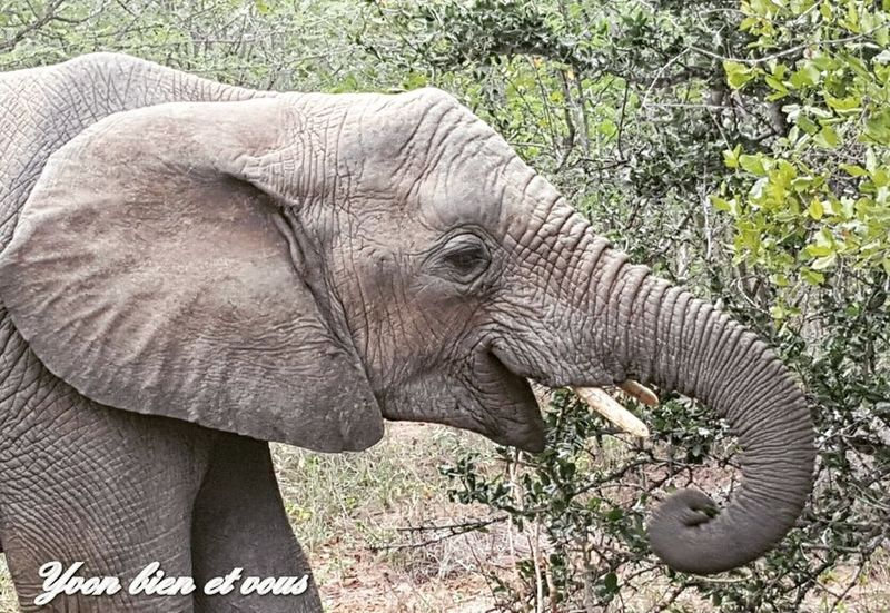 éléphant Vacations Life Trip Voyage South Africa Yvonbien Nature Free Holiday Animal Themes Animals In The Wild Animal Wildlife One Animal Nature Elephant Day Outdoors African Elephant Animal Themes