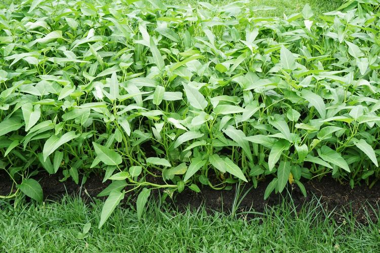Freedom Freshness Green Herb Backgrounds Beauty In Nature Close-up Creeper Plant Day Field Foliage Food Food And Drink Freshness Full Frame Grass Green Color Growth Ipomoea Aquatica Land Leaf Leaves Nature No People Outdoors Plant Plant Part Swamp Morning Glory Vegetable