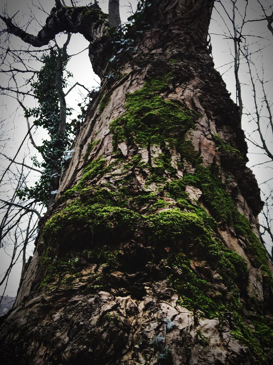 tree, tree trunk, low angle view, nature, day, moss, growth, outdoors, beauty in nature, no people, tranquil scene, tranquility, bark, branch, sky, cliff, mountain, forest, scenics, dead tree