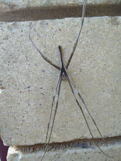 Male Net-casting spider , very rare Spider Spider Nature_collection Eyenaturelover Spider Animals In The Wild One Animal No People High Angle View Outdoors Animal Wildlife Close-up Nature