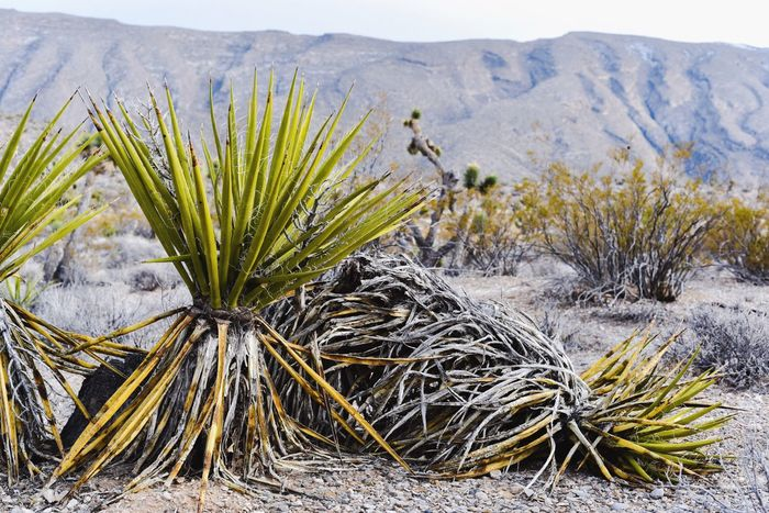 Nature Growth Outdoors Plant No People Landscape Beauty In Nature Desert Life Desert Landscape Deserts Around The World Desert Beauty Desert Mojave Desert Mojave Cactus Mountain Range Nevada Tranquility Growth Scenics Yucca Yuccaplant