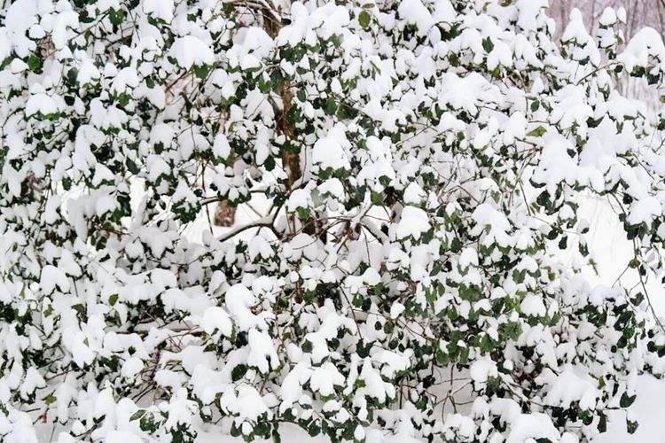 The Giant Holly Bush Backgrounds Background Texture Blizzard 2016 Pattern Pieces Pattern, Texture, Shape And Form Samsung Nx2000 Blizzard Abstract Landscape