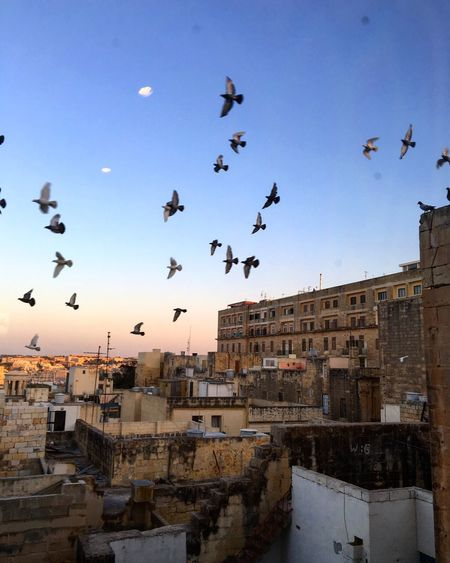Low Angle View Of Pigeons Flying Over Buildings Against Sky