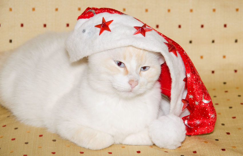 Portrait of crazy kitten with christmas hat Blue Eyes Christmas Funny Moments Santa Claus Xmas Animal Animal Themes Cat Christmas Hat Crazy Animals  Domestic Animals Domestic Cat Feline Funny Animal Indoors  Kitten Mammal No People One Animal Portrait Puppy Vertebrate Whisker White Cat White Color